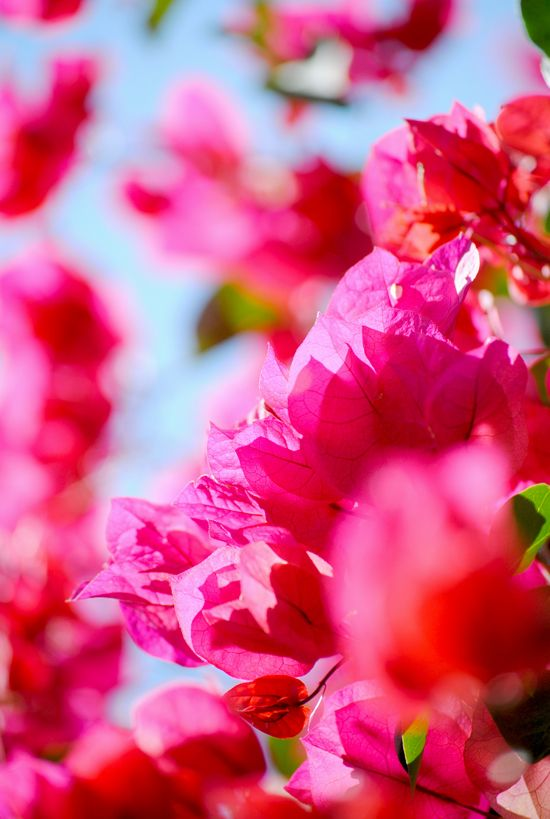 Bougainvillea crush