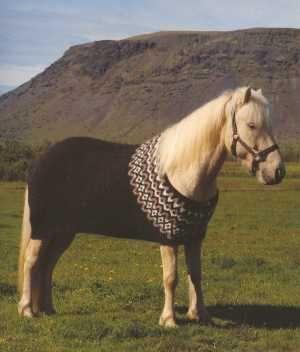 Icelandic horse in an Icelandic sweater.