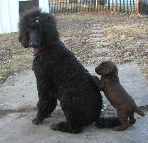 Pin Black Standard Poodle Pictures on Pinterest