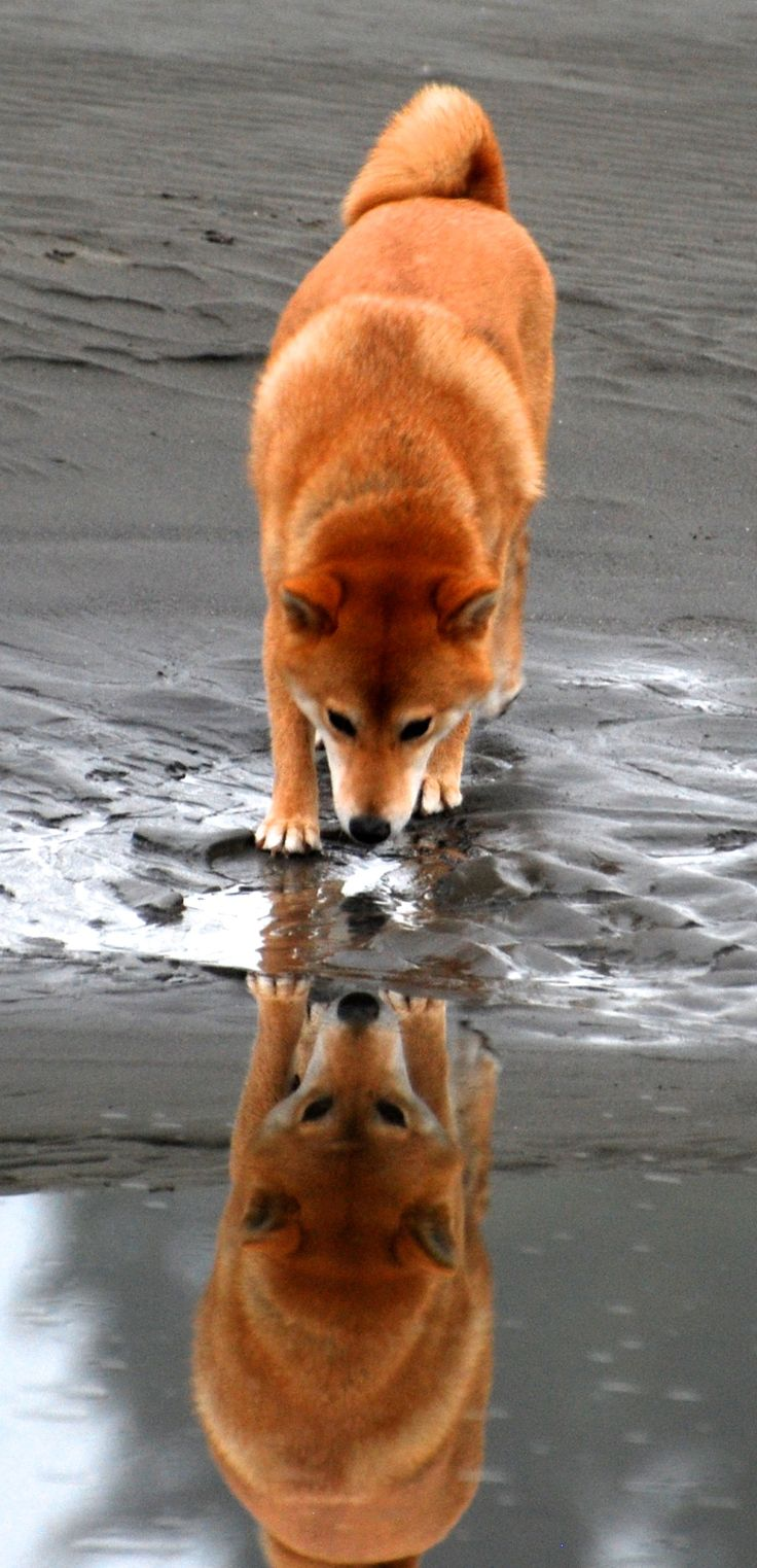 Dog reflection - red like Nala!