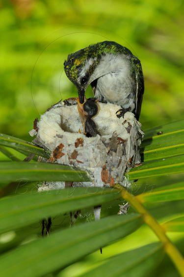 Hummingbird Feeding Her Babies