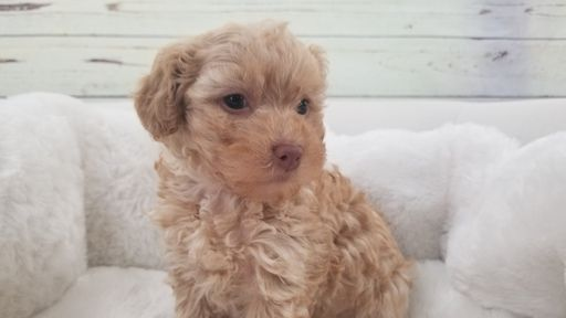 Maltipoo puppy for sale in LA MIRADA, CA. ADN-66523 on PuppyFinder.com Gender: Female. Age: 7 Weeks Old