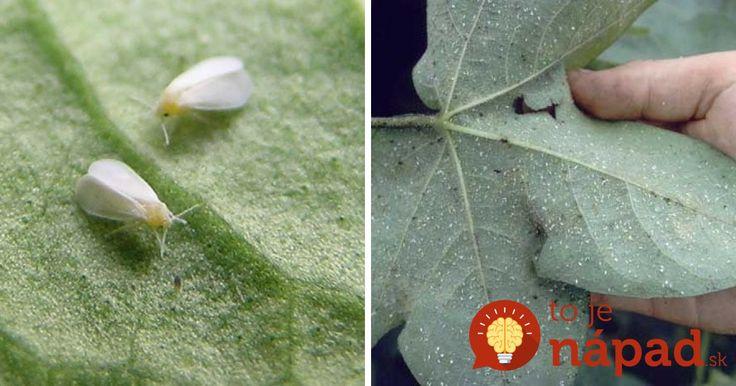 Molica patrí k škodcom, ktorý sa v našich záhradách vyskytuje veľmi často. Ako proti tomuto nevinne vyzerajúcemu škodcovi bojovať?