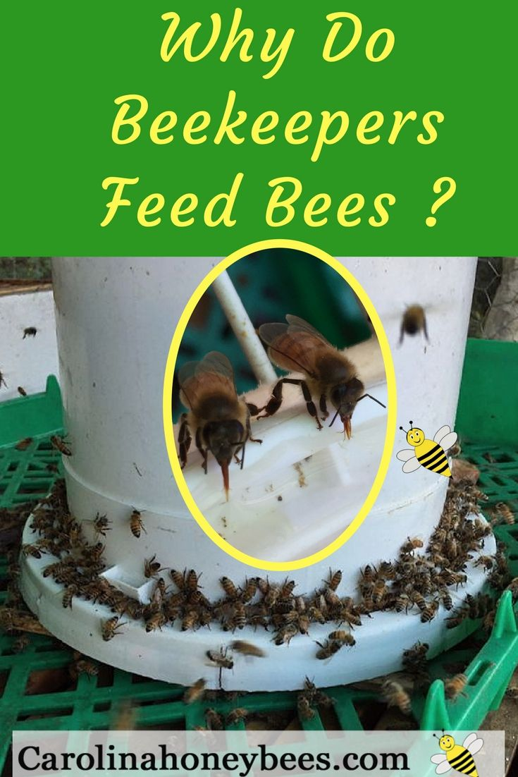 How to feed honey bees and why beekeepers feed bees? Carolina Honeybees