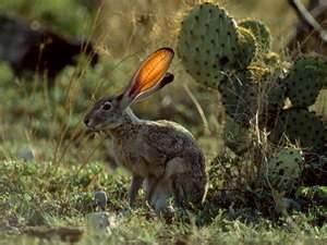 Arizona cactus picture with Az jackrabbit