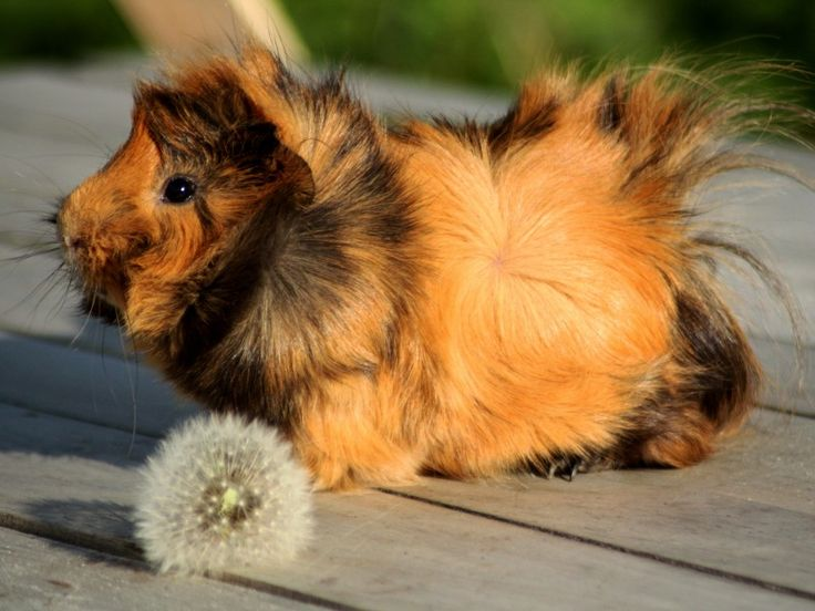 Rosetten-Meerschweinchen: Süße und knuffige Haustiere