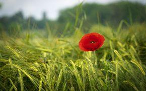 Обои poppy, red, field, grass, green, spring, мак, красный