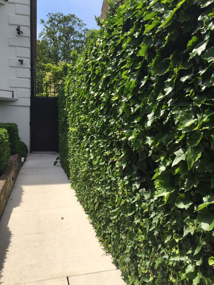 Hedera Hibernica Ivy Wall Home Landscaping Privacy