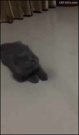 Funny blue Ninja Kitten as fast as light trying to catch his new toy.
