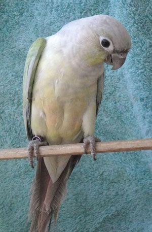 Mint Green Cheek Conure. Never seen this mutation before, how beautiful!