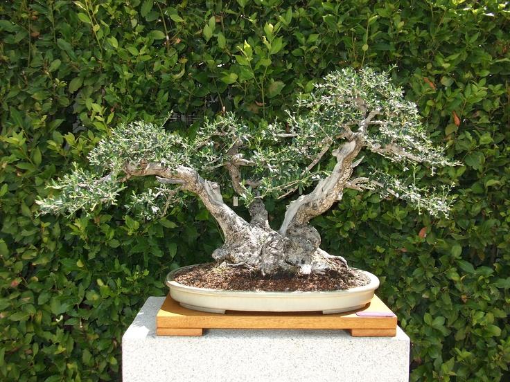 Olive tree, Botanic Garden, Madrid