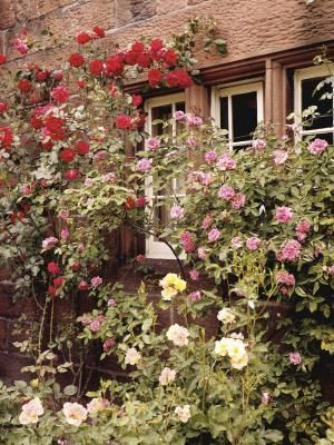 Roses are generally propagated through grafts and cuttings. You can grow a rose bush from a piece of a stem, known as a stem cutting. Or you can grow a bush from a section of the existing root ...