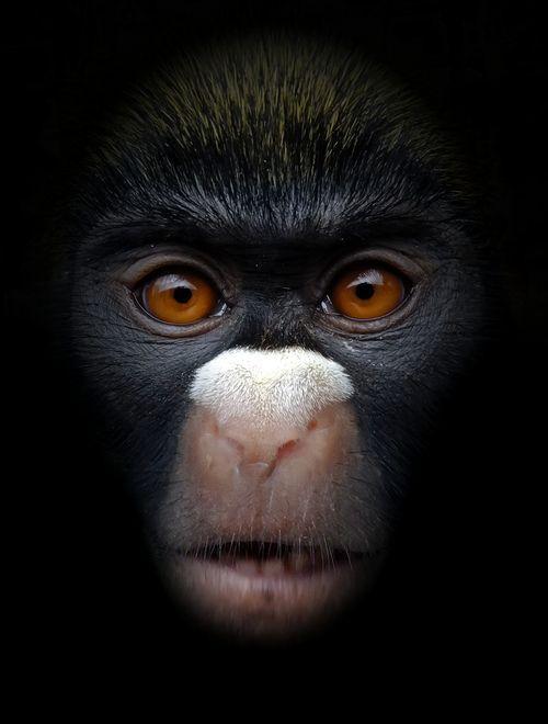 Lesser spot-nosed monkey (by Arkangel)