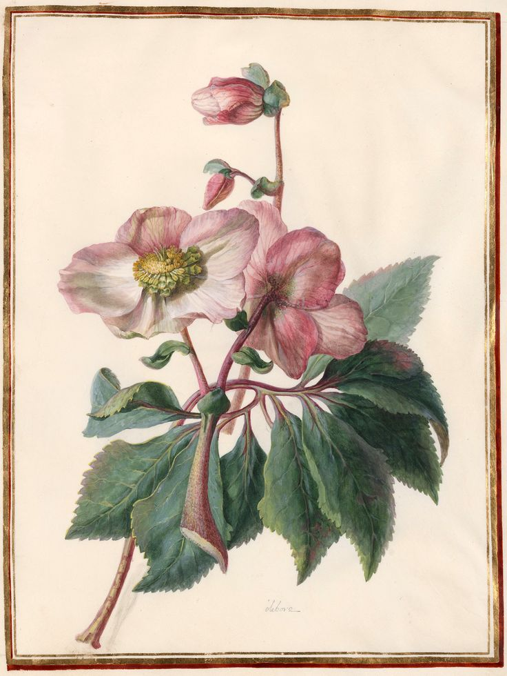 Circle of Madeleine Françoise Basseporte | 1701-1780 | Elebore Christmas rose (Helleborus niger) | The Morgan Library & Museum