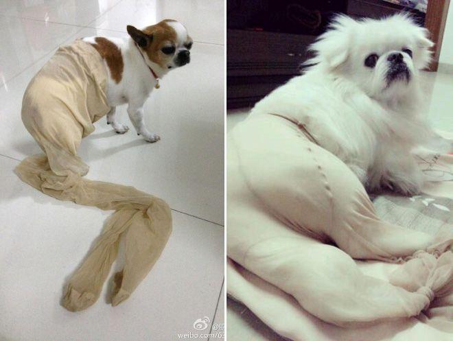 dogs wearing pantyhose   Dogs Wearing Pantyhose (Latest Internet Craze in China)