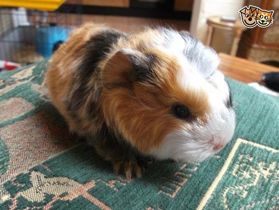 Baby guinea pig Guinea Pig Babies Pinterest Baby