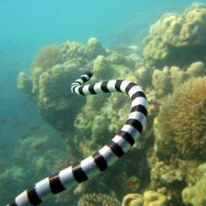 Sea Snakes Must Drink Fresh Water - Softpedia