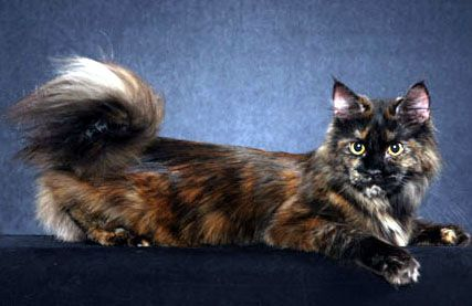 #MaineCoon #Solid #Tortoiseshell Cloistercoon Charlotte of Broadsway