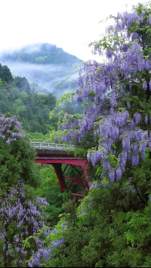 Bridge of Romance. Wisteria - Kyoto, Japan