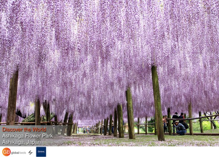 Ashikaga's wisteria trees bloom brilliantly for a few weeks every spring, turning the park into a vision of pastel pinks and purples.  #onlinebookingsystem #FIT #Ashikaga #Japan #discovertheworld #instadaily #todayspost#view #viewoftheday #views #picoftheday#DorakHolding #GB #GlobalBeds