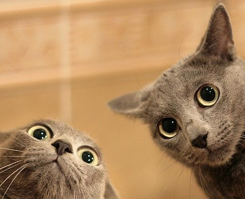 Two surprised, grey cats looking down at the camera.