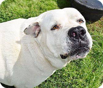 10/29/16-Iola, TX - Great Pyrenees/Bullmastiff Mix. Meet Spot, a dog for adoption. http://www.adoptapet.com/pet/15151018-iola-texas-great-pyrenees-mix