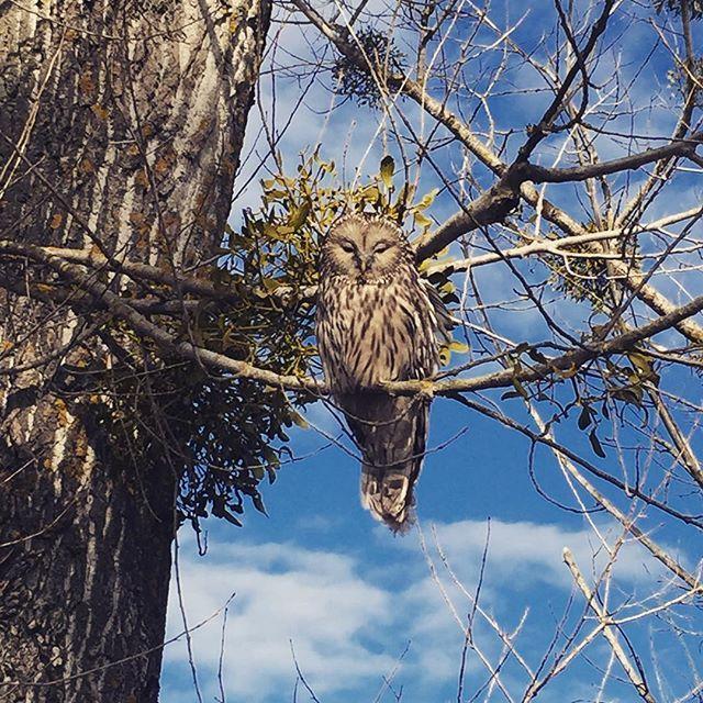Owl in Transylvania, Romania