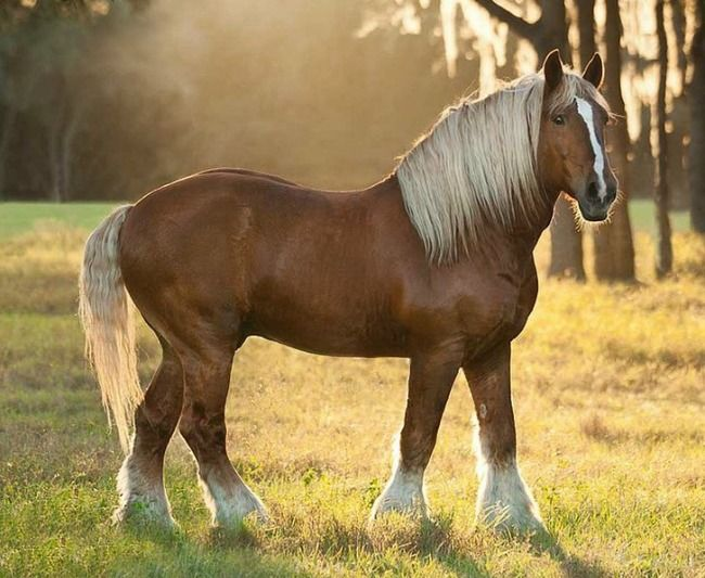 American Belgian draft stallion. Leggier and  lighter-looking if not always lighter weight, than the classic Brabant. Most are pangaré flaxen chestnut while most European horses are bay and roan. This popular draft breed may have significant Flemish draft horse heritage. The Flemish horse is another Belgian draft breed that is flaxen chestnut and leggy. photo: Mark Barrett.