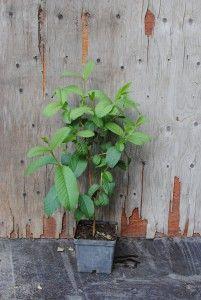 Guava - Psidium guajava  Trooppiset hyötykasvit huonekasveina - kasvit ovat kaupasta ostettujen hedelmien siemenestä kasvatettuja.