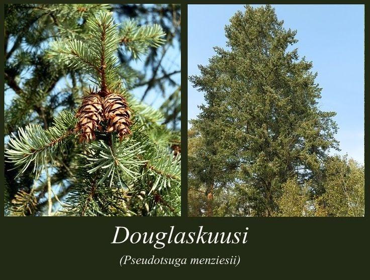 Douglaskuusi - puulajipuisto
