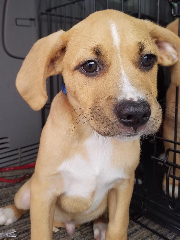 Sheprador dog for Adoption in Nashville, TN. ADN547337 on