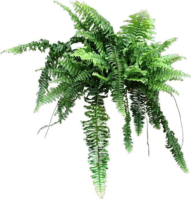 70 best images about ferns on pinterest brown ostrich fern and boston ferns. Black Bedroom Furniture Sets. Home Design Ideas
