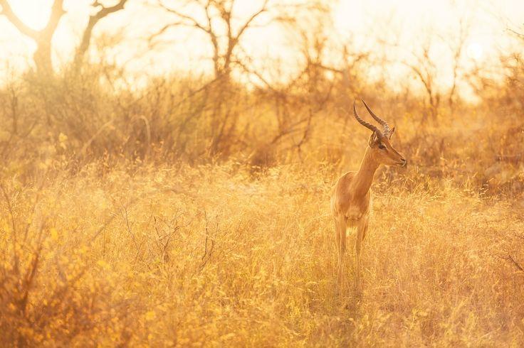 Impala by Geoffrey Gilson on 500px