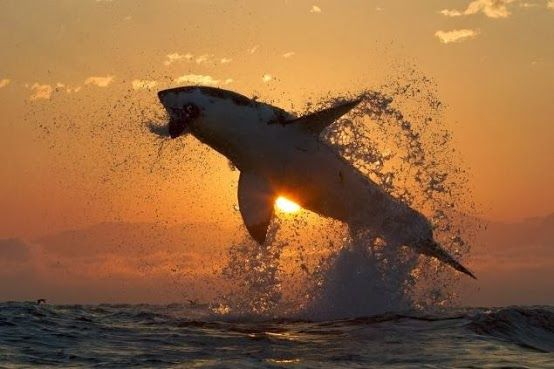 Great White Shark at sunrise
