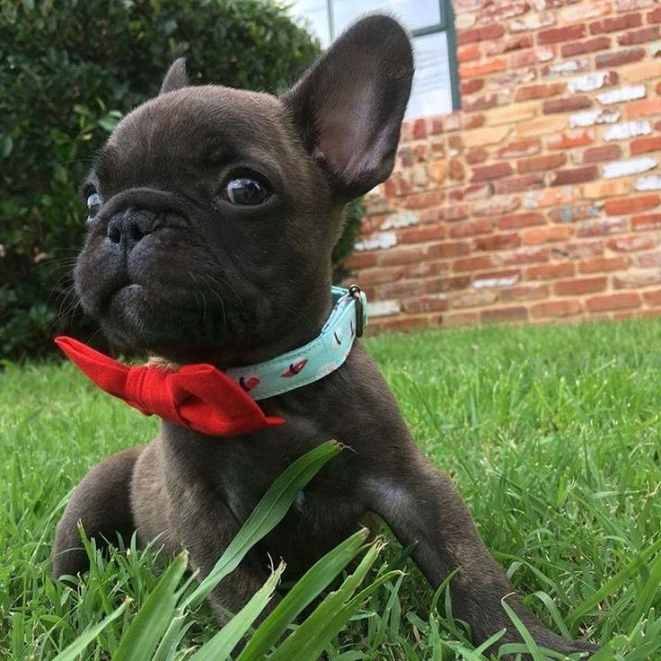 Tyrion (@tyrionthewonderfrenchie) • Instagram photos and videos