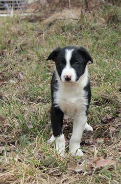 Border Collie puppy for sale in MANSFIELD, MO. ADN-22819 on PuppyFinder.com Gender: Male. Age: 8 Weeks Old