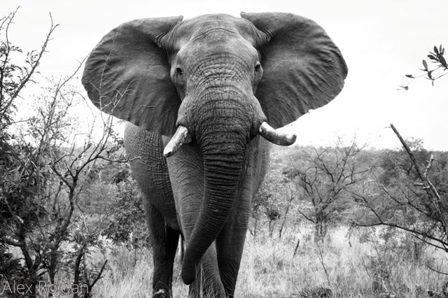 China has begun enforcing their ban on the legal trade of ivory - but more needs to be done to stop the huge illegal trade in the country. This beautiful capture is by Alex Roldan. #conservation #elephant #ivory #ban #china #environment