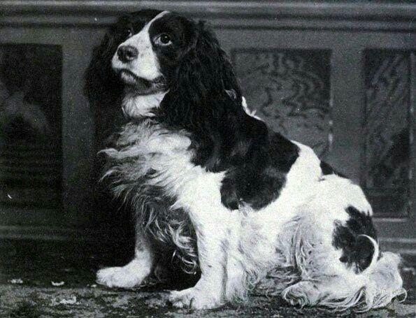 Norfolk Spaniel