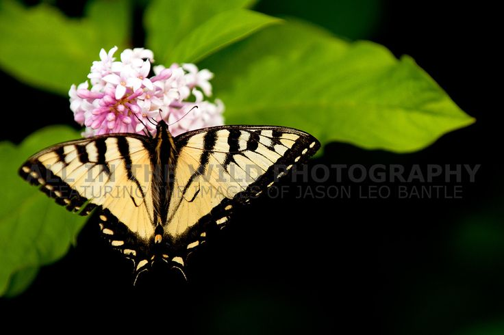 A MOMENT'S BRILLIANCE Christopher Lake, SK   This swallowtail butterfly delicately feeds on a lavender lilac shrub.  It is not an easy task to capture them on camera as they feed for a moment then flutter off.  What a beautiful sight to see just out one's back door!