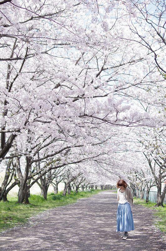 Cherry blossom tunnel, Japan