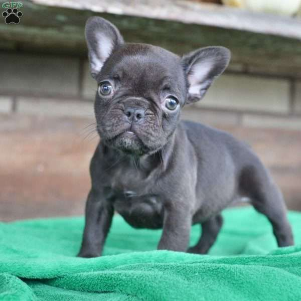 Dixie French Bulldog Puppy For Sale In Ohio Bulldog Puppies