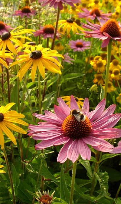 Black eyed Susan and Purple Coneflowers- mix Slammin Susans  Purple Chill Pills by Live Mulch to get this perennial garden  #echinacea #black eyed Susans