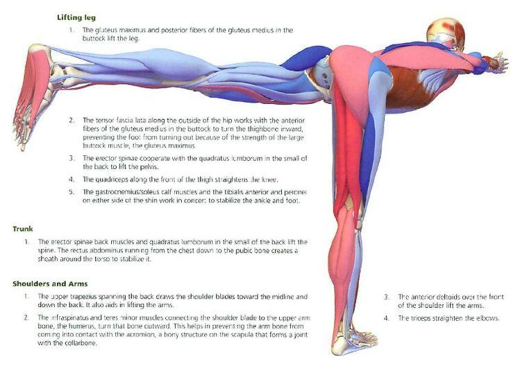 Gemütlich Anatomie Yoga Posen Bilder - Anatomie Von Menschlichen ...