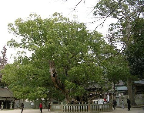 Cinnamomum camphora - Wikipedia