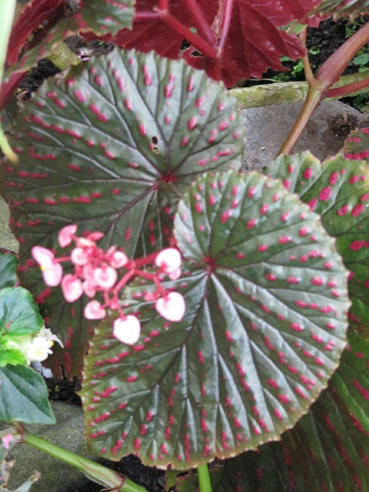 paradis express: Begonias, Bali