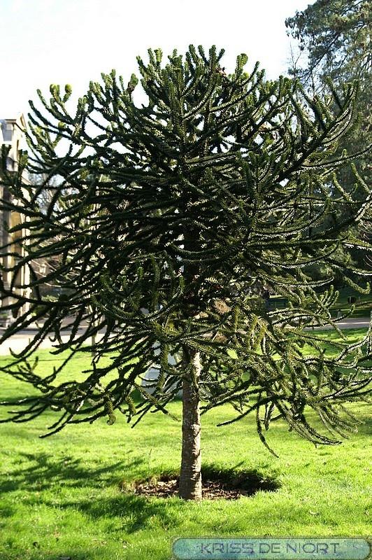 http://faaxaal.forumgratuit.ca/t2295-photo-d-arbre-araucaria-du-chili-desespoir-du-singe-araucaria-araucana-araucaria-imbricata-monkey-puzzle