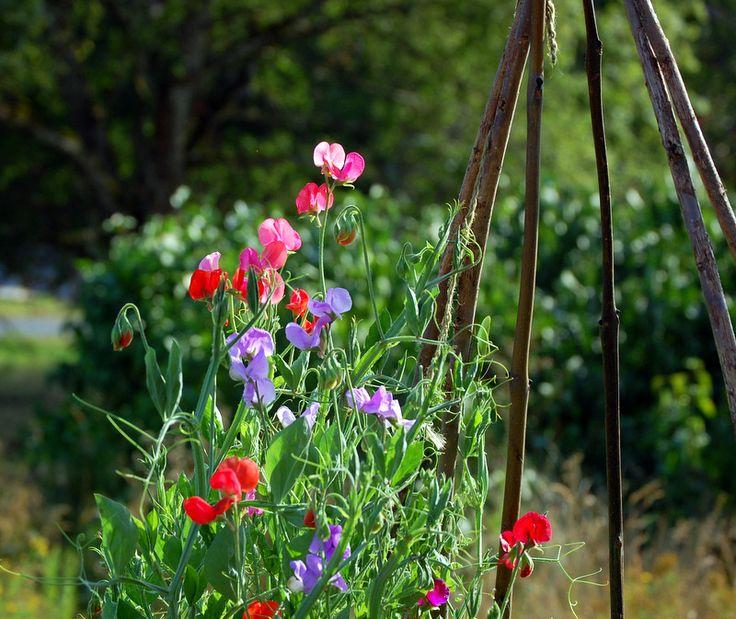 En sommarfavorit som nyligen börjat blomma; ljuvligt doftande luktärtor i olika färger. En lite bukett kommer att stå på mitt nattduksbord i natt. Jag önskar er alla en fin kväll!