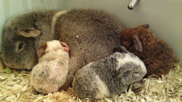 Общение на сайте МИР МОРСКИХ СВИНОК www.svinki.ru > фото беременных свинок