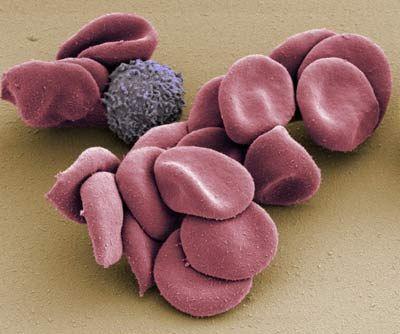 Кратковременная голодовка оборачивается для иммунитета двойной пользой: во-первых, исчезают старые, повреждённые клетки, во-вторых, активируются стволовые клетки крови, восполняющие клеточный запас иммунной системы.