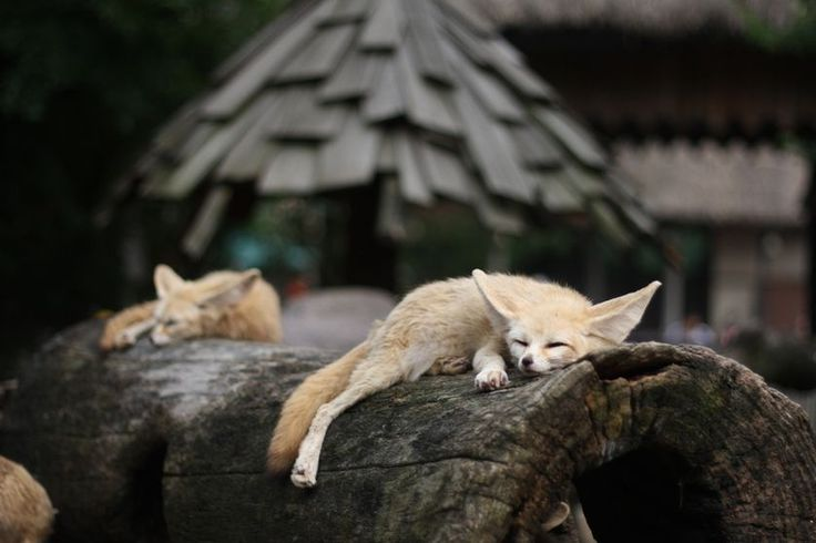 フェネックキツネは、日中にスヌーズ、夜行性です。